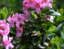 144.Pěnišník srstnatý (Rhododendron hirsutum)