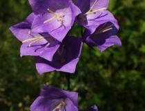 18.Zvonek broskvolistý (Campanula persicifolia)