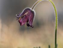 Koniklec luční český (Pulsatilla pratensis subsp. bohemica)