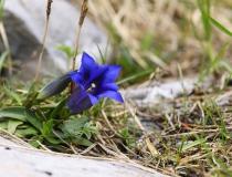 Hořec Clusiův (Gentiana clusii)