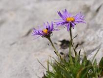 Hvězdnice alpská (Aster alpinus L.)