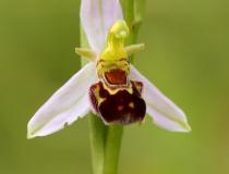 Tořič včelonosný (Ophrys apifera)