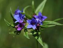 34.Kamejka modronachová (Lithospermum purpurocaeruleum L.)