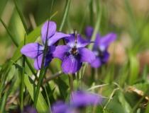 39.Violka vonná (Viola odorata L.)