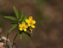 40.Sasanka pryskyřníkovitá (Anemone ranunculoides)