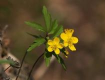 41.Sasanka pryskyřníkovitá (Anemone ranunculoides)