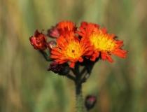 44.Jestřábník oranžový (Hieracium aurantiacum L.)