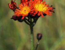 45.Jestřábník oranžový (Hieracium aurantiacum L.)