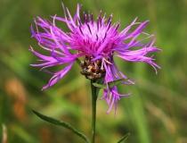 46.Chrpa luční (Centaurea jacea)