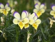 56.Violka žlutá sudetská (Viola lutea subsp. sudetica)