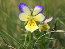 57.Violka žlutá sudetská (Viola lutea subsp. sudetica)