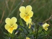 58.Violka žlutá sudetská (Viola lutea subsp. sudetica)