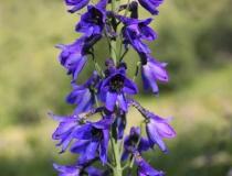 59.Stračka vyvýšená (Delphinium elatum L.)