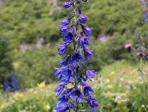 60.Stračka vyvýšená (Delphinium elatum L.)