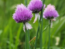 63.Pažitka pobřežní horská (Allium schoenoprasum L. subsp.alpinum)