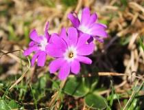 64.Prvosenka Clusiova (Primula Clusiana Tausch)