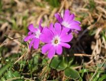 65.Prvosenka Clusiova (Primula Clusiana Tausch)