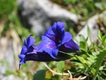 67.Hořec Clusiův (Gentiana clusii)