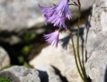 68.Dřípatka alpská (Soldanella alpina)