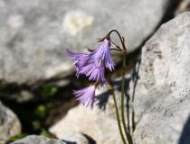 69.Dřípatka alpská (Soldanella alpina)
