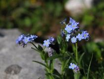 77.Pomněnka vysokohorská (alpská)(Myosotis alpestris)