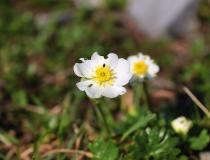 78.Pryskyřník alpský (Ranunculus alpestris)