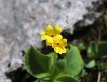 81.Prvosenka lysá (aurikule) (Primula auricula)