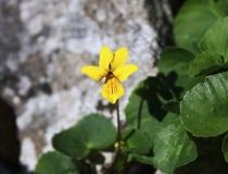 82.Violka dvoukvětá (Viola biflova)