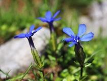 83.Hořec okrouhlolistý (Gentiana orbicularis)