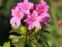 88.Pěnišník srstnatý (Rhododendron hirsutum)