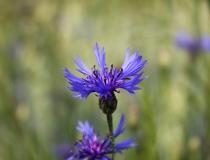 91.Chrpa polní (Centaurea cyanus)