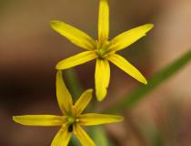 Křivatec žlutý (Gagea lutea)