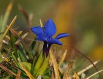 Hořec okrouhlý (Gentiana orbicularis)