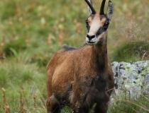 1.Kamzík horský tatranský (Rupicapra rupicapra tatrica)