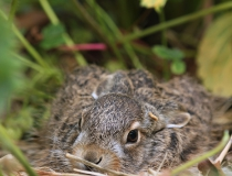 100.Zajíček (Lepus europaeus)
