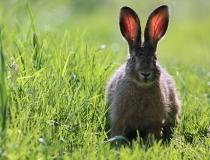 101.Mladý zajíc (Lepus europaeus)