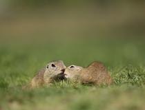 104.Syslí láska (Spermophilus citellus)