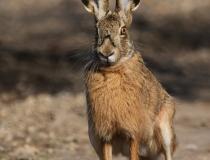 115.Zajíc polní (Lepus europaeus)