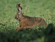 117.Zajíc polní (Lepus europaeus)