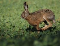 118.Zajíc polní (Lepus europaeus)