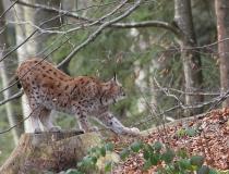 123.Rys ostrovid (Lynx lynx)
