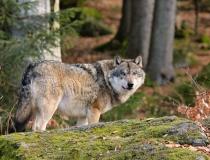 124.Vlk obecný (Canis lupus)