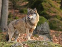 125.Vlk obecný (Canis lupus)