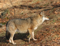 127.Vlk obecný (Canis lupus)