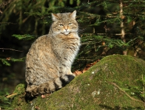 128.Kočka divoká (Felis silvestris)