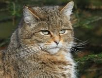 129.Kočka divoká (Felis silvestris)