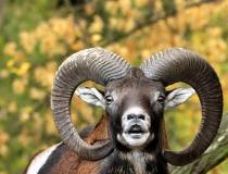154.Muflon (Ovis musimon)