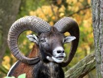 155.Muflon (Ovis musimon)