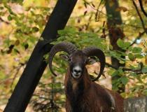 156.Muflon (Ovis musimon)