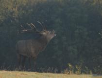 160.Troubící jelen (Cervus elaphus)